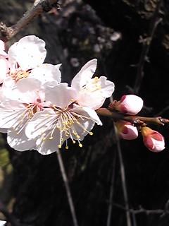 まだまだ梅の花
